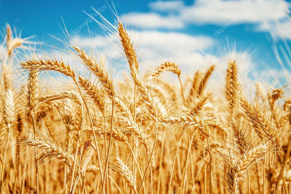 Подорожает ли зерно в Татарстане в 2019-м году? (ВИДЕО)