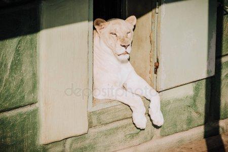 В Казани с балкона выглядывала львица