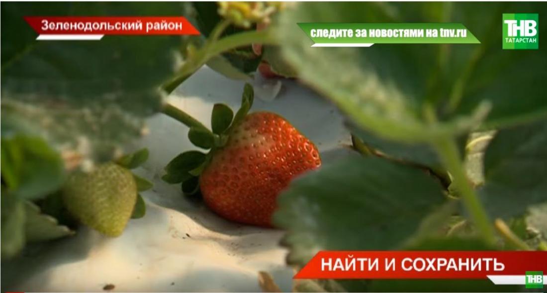 Татарстан завалит Россию клубникой