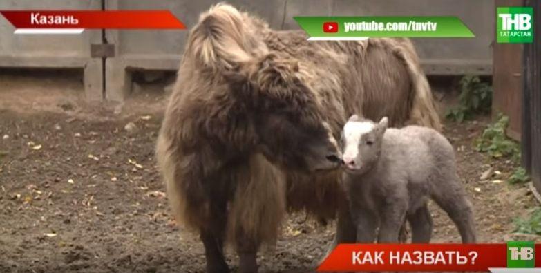 В Казанском зоопарке родился як (ВИДЕО)