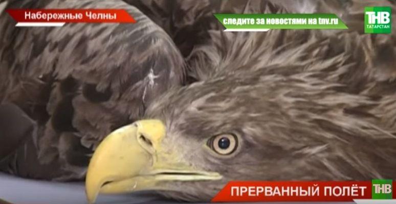 Орнитологи из Набережных Челнов спасли беспомощного орлана-белохвоста (ВИДЕО)