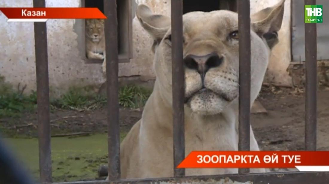 Казанның иске зоопаркыннан хайваннарны яңасына күчерергә җыеналар