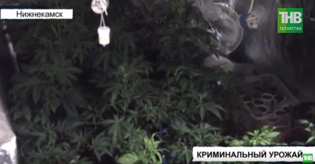 Татарстанец выращивал наркотические растения в квартире с видом на здание УВД Нижнекамска (ВИДЕО)