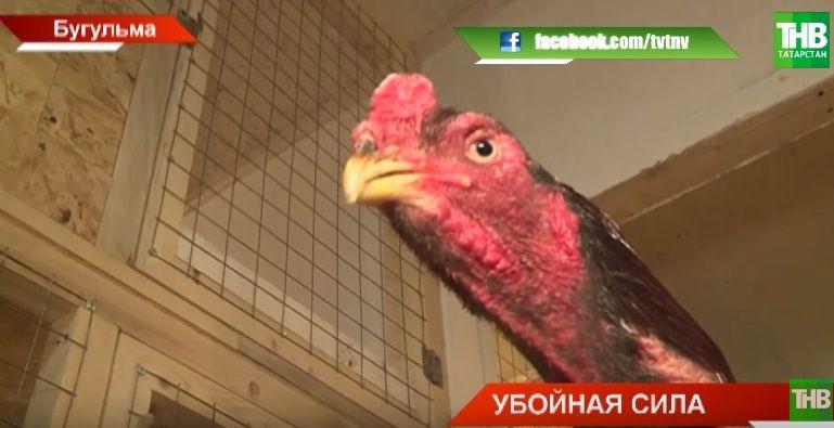 Житель Бугульмы разводит бойцовых петухов и проводит спаринги (ВИДЕО)