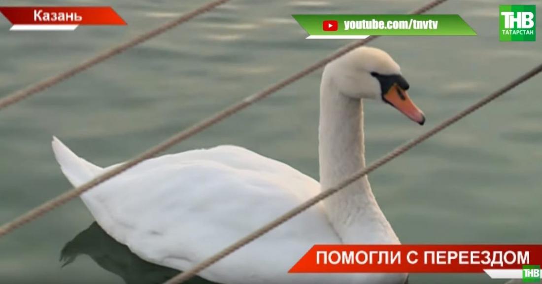 В Татарстане из ледяного плена спасли лебедей (ВИДЕО)