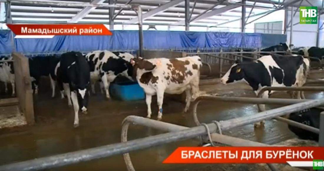 Татарстанские коровы получили фитнес-браслеты (ВИДЕО)