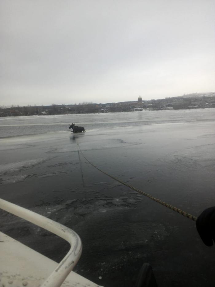 Спасатели в Татарстане на Каме вытащили из полыньи лося (ВИДЕО)