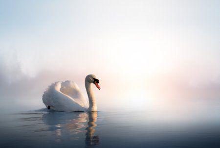 Краснокнижный белый лебедь в Набережных Челнах может погибнуть из-за холодов (ВИДЕО)