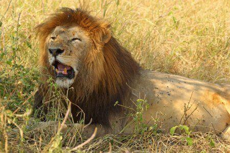 В казанский зоопарк «Река Замбези» переехали три льва