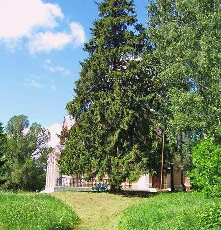 Самая старая ель в Татарстане растет в Тетюшах (ВИДЕО)