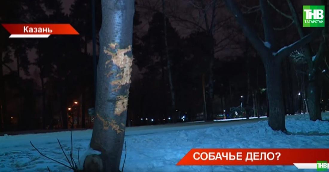 В Казани собаки «убивают» деревья в парке Урицкого (ВИДЕО)