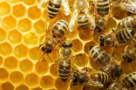 У пчел Татарстана теперь будут свои паспорта (ВИДЕО)