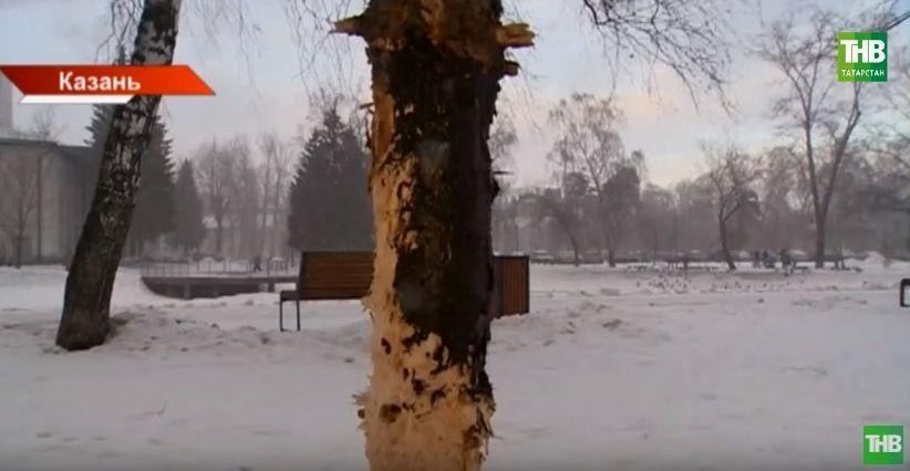 Хозяева «натаскали» собак: в казанском парке Урицкого начали восстанавливать ободранные деревья (ВИДЕО)