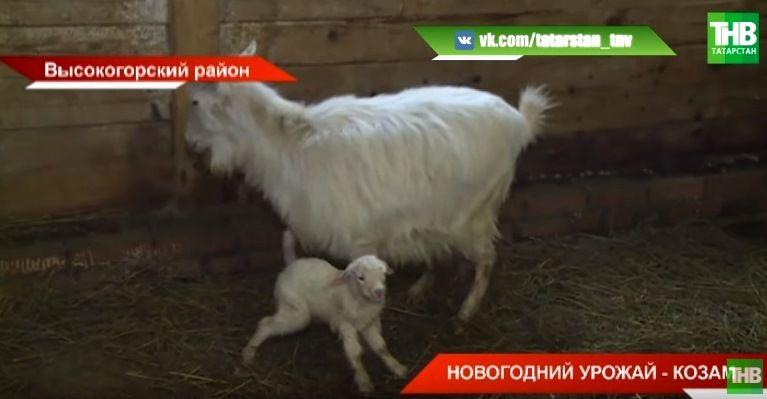 """""""На съедение козам"""": новогодние елки отправились на вкусную переработку (ВИДЕО)"""