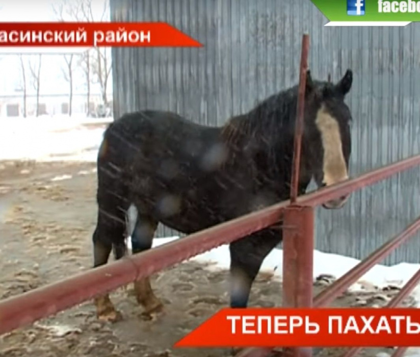 «Пахать, как лошадь»: фермеры из Татарстана разводят тяжеловозов