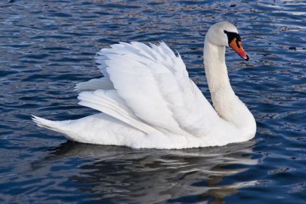 Казанцы выходили лебедя и спасли от гибели (ВИДЕО)