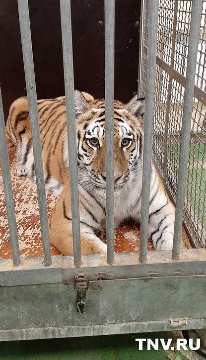 В казанском цирке родились четыре тигренка – видео