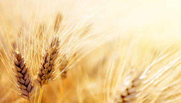 «Чудо-пшеница»: скоро в Татарстане смогут отведать хлеб из фиолетового зерна - видео