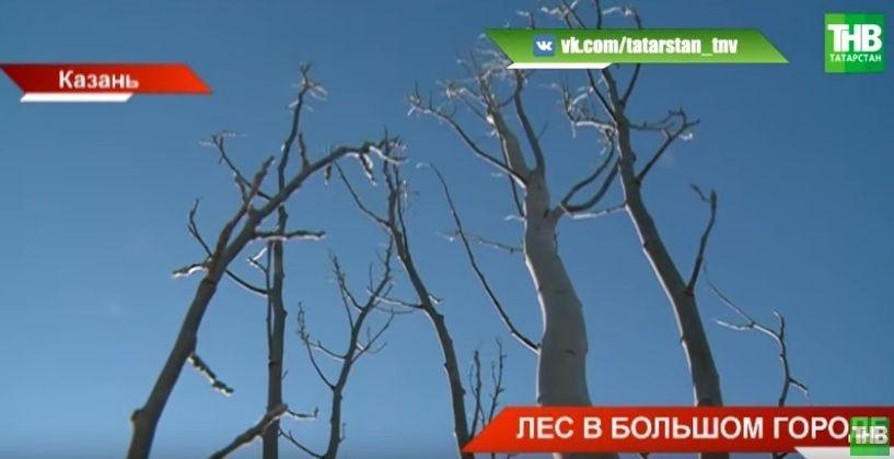 «Зеленая реконструкция»: на улицах Казани появится больше деревьев - видео