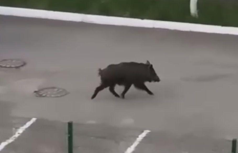 Казанцы сняли на видео разгуливающих по городу кабана и лося