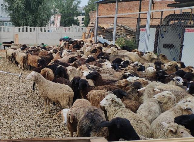 За время празднования Курбан-байрама Дум РТ раздаст 25 тонн жертвенного мяса