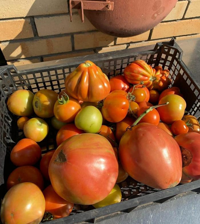 "Җәвит Шакиров: ""Мондый помидорлар беркемдә дә юк"""